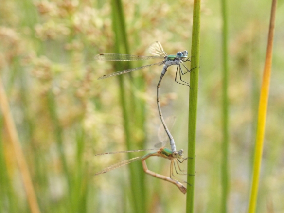 30.07.13. Emerald Damselfly (male and female in mating wheel), Black Lake, delamere Forest. Bill Morton