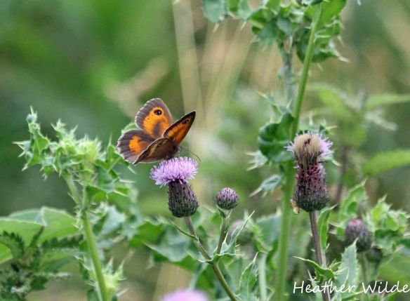 20.07.13. Gatekeeper, Frodsham Marsh. Heather Wilde.