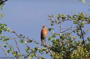 24.07.13. Linnet, Frodsham Marsh. Heather Wilde.