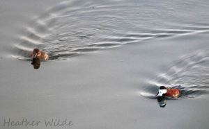 24.07.13. Ruddy Duck pair, Frodsham Marsh. Heather Wilde