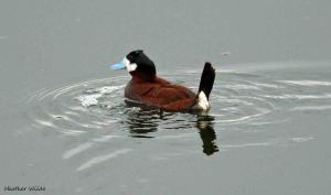 24.07.13. Ruddy Duck, Frodsham Marsh. Heather Wilde