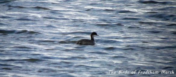 04.08.13. Black-necked Grebe (juvs), No 6 tank, Frodsham Marsh