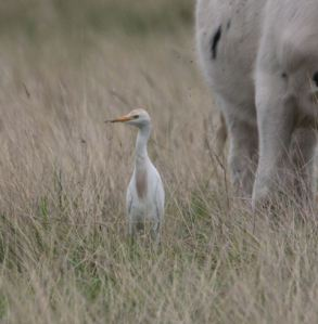 23.08.13. Cattle Egret, Frodsham Marsh. Mark Payne