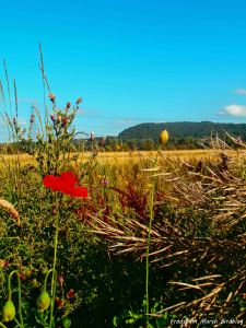 16-08-13-field-poppy-on-frodsham-marsh-bill-morton