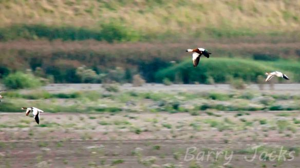 27.08.13. Ruddy Shelduck with Common Shelduck, Frodsham Marsh. Barry Jacks.