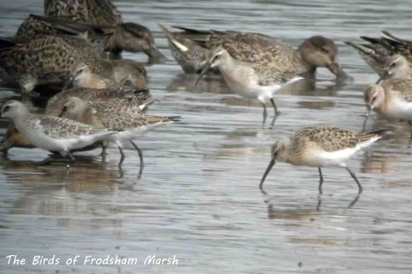 31.08.13. Curlew Sandpipers and Teal, No6 tank, Frodsham Marsh. Bill Morton