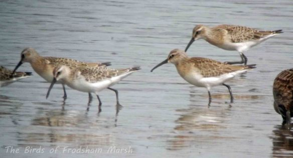 31.08.13.  Curlew Sandpipers, No 6 tank, Frodsham Marsh