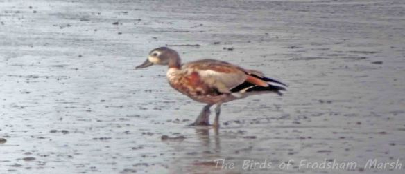 31.08.13. hybrid Ruddy Shelduck, No6 tank, Frodsham Marsh. Bill Morton