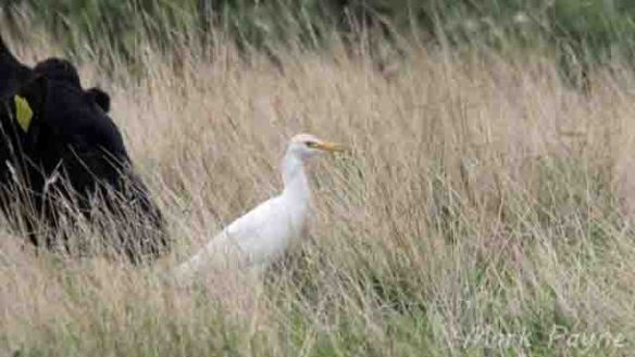 Cattle Egret, Frodsham Marsh. Mark Payne (2)