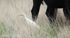 Cattle Egret, Frodsham Marsh. Mark Payne (3)