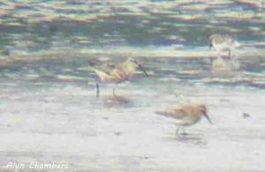 24.08.13. Curlew Sandpipers, No 6 tank, Frodsham Marsh. Alyn Chambers
