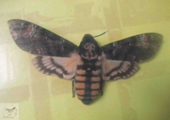 Deaths-head Hawk Moth. Bill Morton