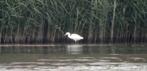 08.08.13. Little Egret, No 6 tank, Frodsham Marsh. Bill Morton.