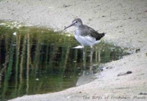 17.08.13. Green Sandpiper, No 6 tank, Frodsham Marsh. Bill Morton