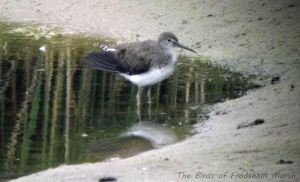 17.08.13. Green Sandpiper, No 6 tank, Frodsham Marsh. Bill Morton.