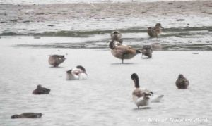17.08.13. hybrid Shelduck, No 6 tank, Frodsham Marsh. Bill Morton