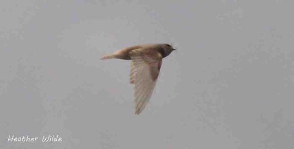 Leucistic Sand Martin, Frodsham Marsh. Heather Wilde. 2 copy