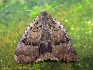 Old Lady Moth, Runcorn. Bill Morton.