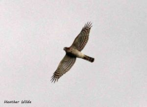 11.08.13. Sparrowhawk, Frodsham Marsh. Heather Wilde.