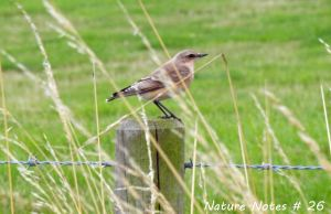 09.09.13. juvenile Wheatear, Pale Heights, Delamere. Bill Morton.