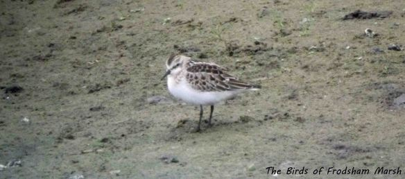 13.09.13. juv Little Stint, No 6 tank, Frodsham Marsh