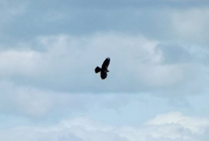 14.09.13. Marsh Harrier (juv), Frodsham Marsh. Paul Ralston (1)