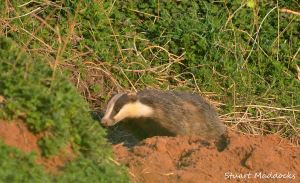 16.04.13/ Badger, Frodsham Marsh.  Stuart Maddocks