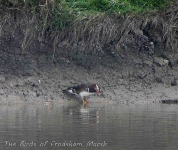 21.09.13. Mandarin (drake), No 6 tank, frodsham Marsh. bill Morton (3)