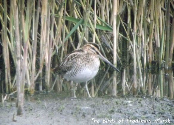 26.09.13. Common Snipe, No 6 tank, Frodsham Marsh.