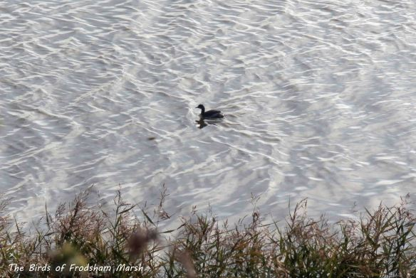 29.09.13. Black-necked Grebe, No 6 tank, Frodsham Marsh. Bill Morton.
