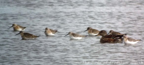 31.08.13. Curlew Sandpipers, Frodsham Marsh. Bill Morton