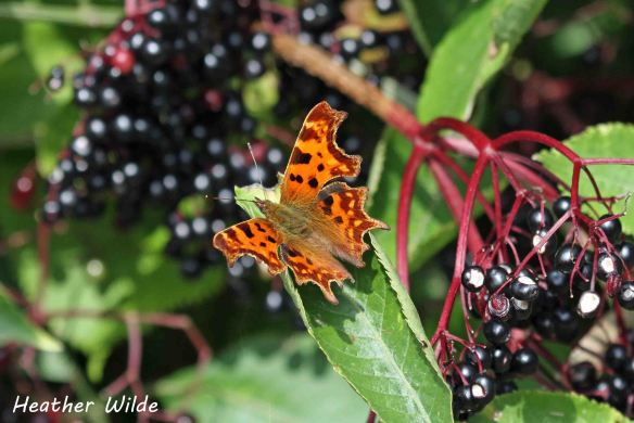 22.09.13. Comma and berries, Frodsham Marsh. Heather Wilde