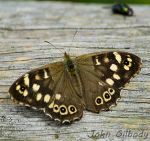 Speckled Wood copy