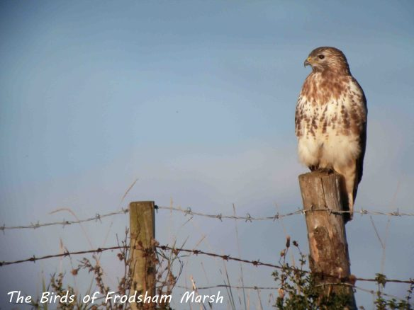 05.10.13. Common Buzzard, Frodsham Marsh. Bill Morton.