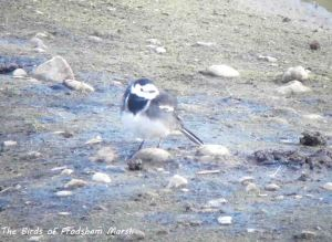 13.10.13. Pied Wagtail, No 6 tank, Frodsham Marsh. Bill Morton.
