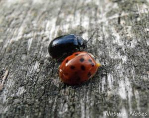 19.10.13. Harlquin Ladybird and Alder Beetle, Wigg Island. Bill Morton