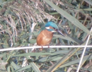 19.10.13. Kingfisher, Wigg Island. Bill Morton