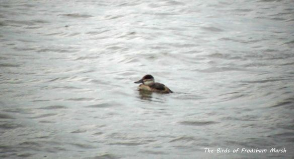 11.10.13. Ruddy Duck (female), Frodsham Marsh. Bill Morton