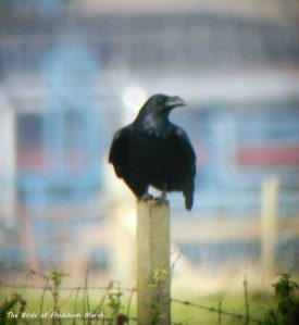 26.10.13. Raven, No 3 tank, Frodsham Marsh. Bill Morton