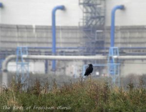 19.10.13. Raven, Frodsham Marsh. Bill Morton
