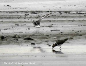 19.10.13. Grey Plover and Lapwing, Frodsham Marsh. Bill Morton