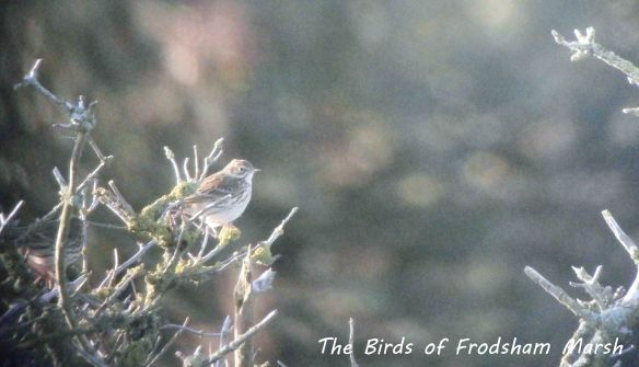 07.11.13. Meadow Pipit, Frodsham Marsh. Bill Morton.