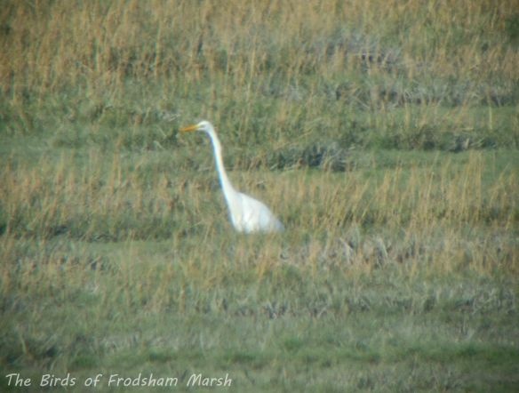 09.11.13. Great White Egret, Frodsham Score. Bill Morton