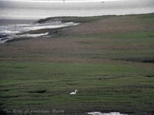 09.11.13. great White Egret, Frodsham Score. Bill Morton.