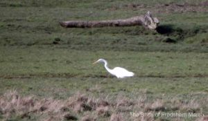 16.02.13. Great White Egret, Frodsham Score, Frodsham Marsh