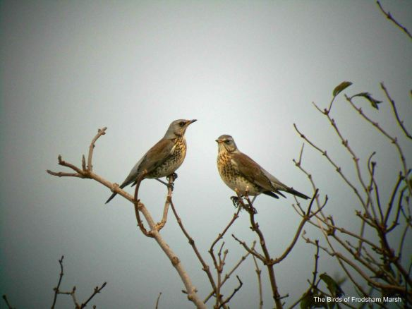 23.11.13. Fieldfare, no. 4 tank, Frodsham Marsh