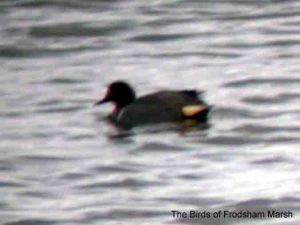 Green-winged Teal, No6 tank, Frodsham Marsh, 23rd April 2004...