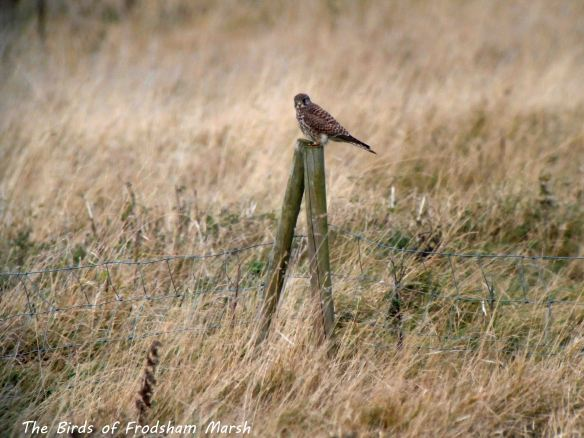16.11.13. Kestrel. N0 5 tank, Frodsham Marsh. Bill Morton