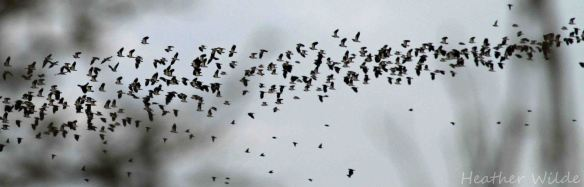 28.12.13. Lapwing in flight, Frodsham Marsh. Heather Wilde.