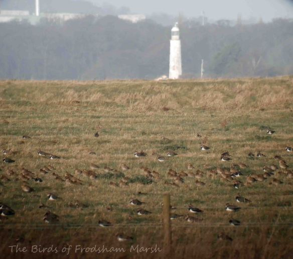 21.12.13. Lapwing and Golden Plover, No. 3 tank, Frodsham Marsh. Bill Morton